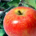 Baldwin Apple