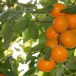 Chinese Apricot