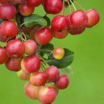 Crabapple-Apple