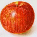 Northern Spy Apple