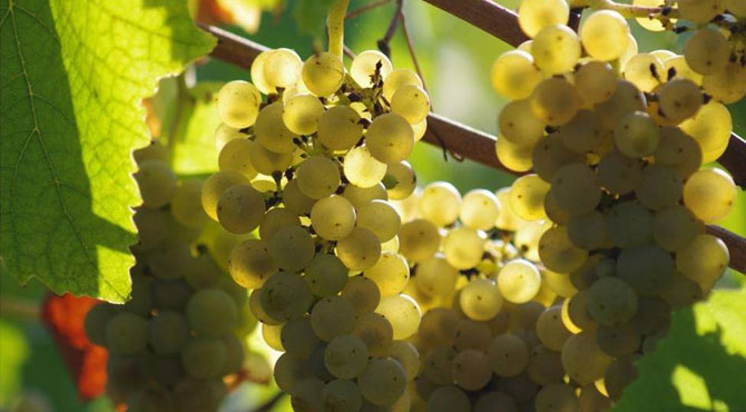 Muscadet-grapes