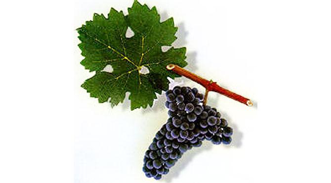 Muskat-Krymskii-grapes