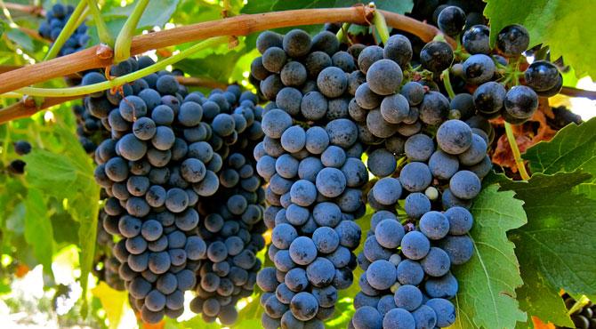 Petite-Sirah-grapes