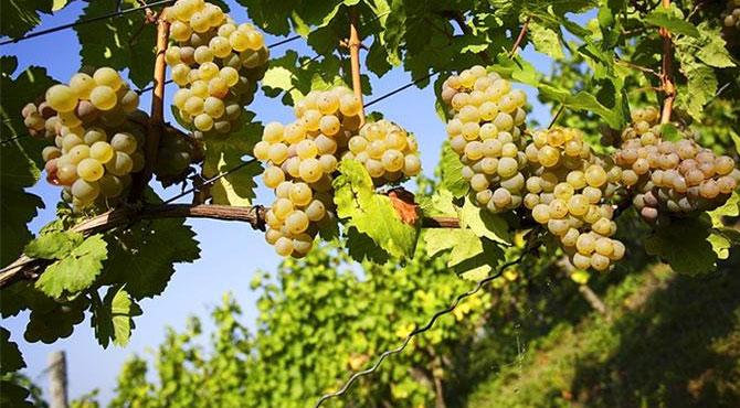 Scheurebe-grapes