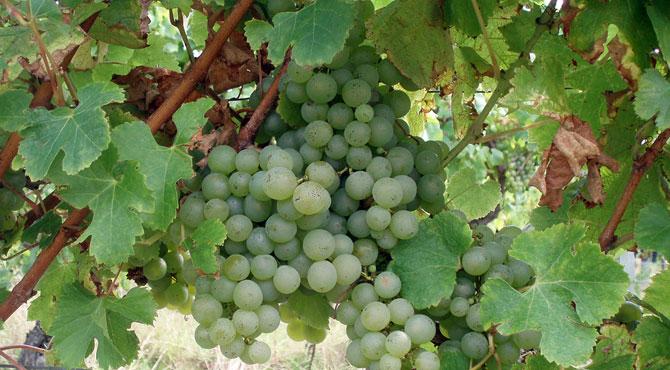 Semillon-grapes