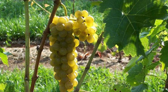 Seyval-grapes