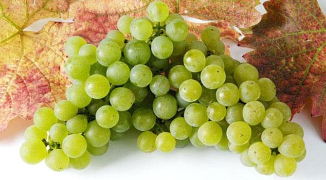 Sylvaner-grapes