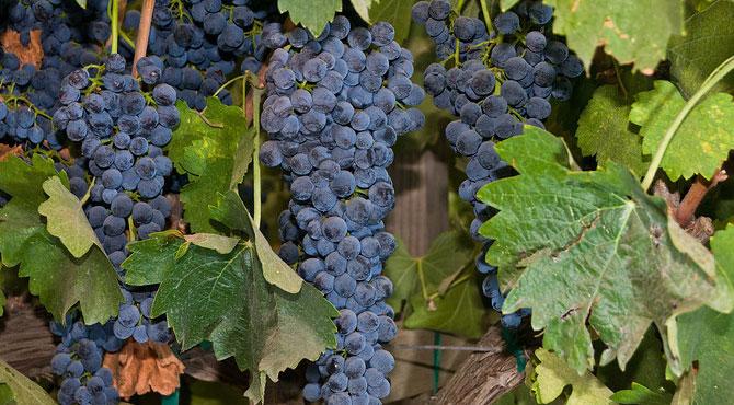 Syrah-grapes