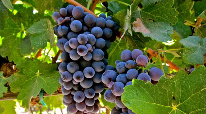 Barbera-Grapes