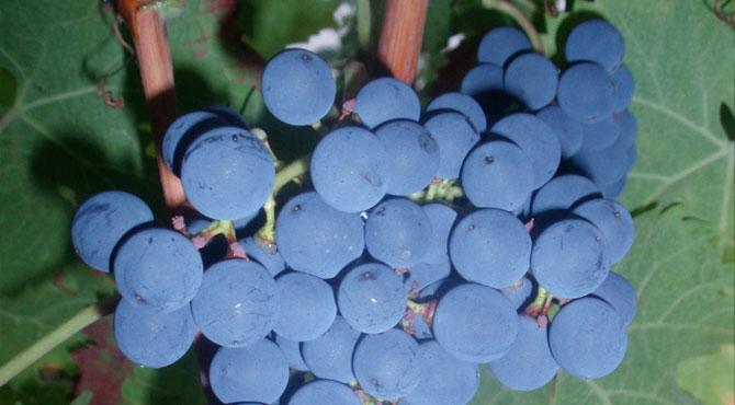 Cabernet-Franc-Grapes