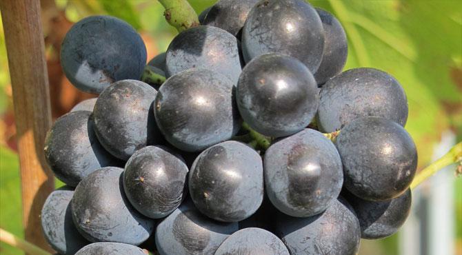 Cinsaut-grape