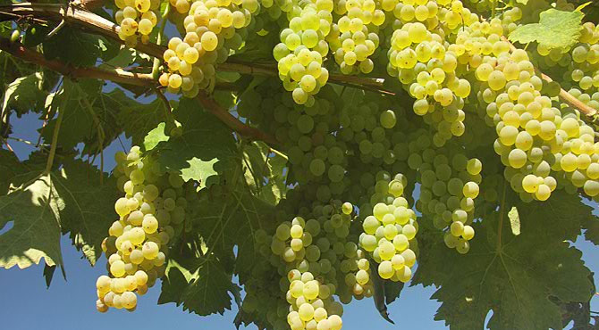 Colombard-grapes