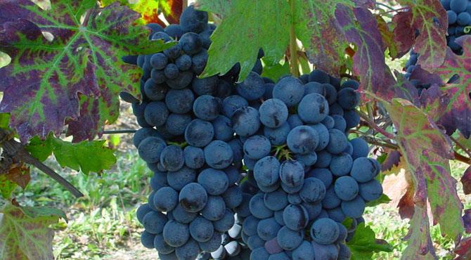 Cortese-grapes