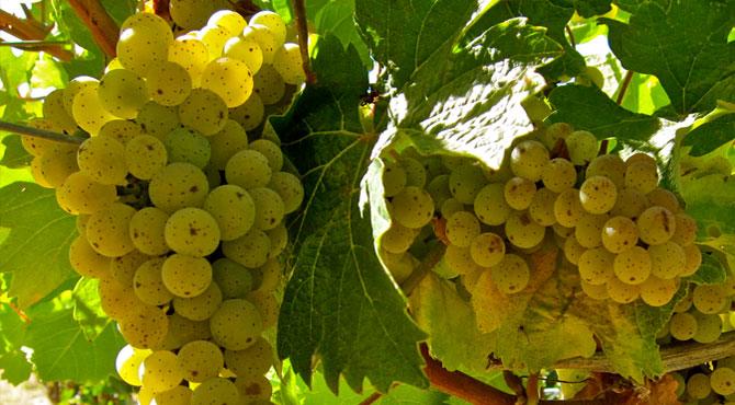 Ehrenfelser-grapes