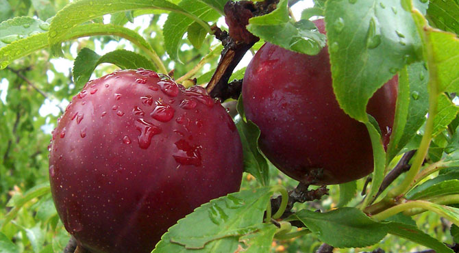 Health-Benefits-of-Plums