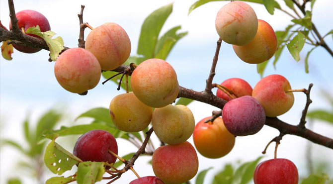 Japanese-Plums