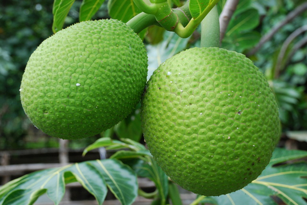 Health benefits of BreadfruitsMazapan Fruit