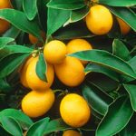 Large Round Kumquat