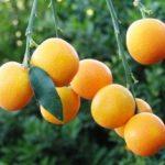 Round Kumquat