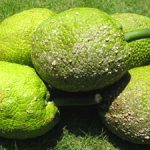 Seeded breadfruit
