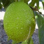 Seedless breadfruit