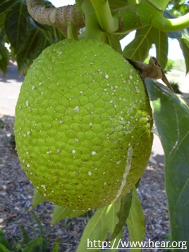 breadfruit facts and health benefits. Black Bedroom Furniture Sets. Home Design Ideas