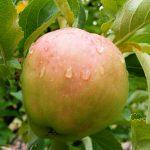 Criterion Apple