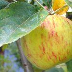 Gravenstein-Apple