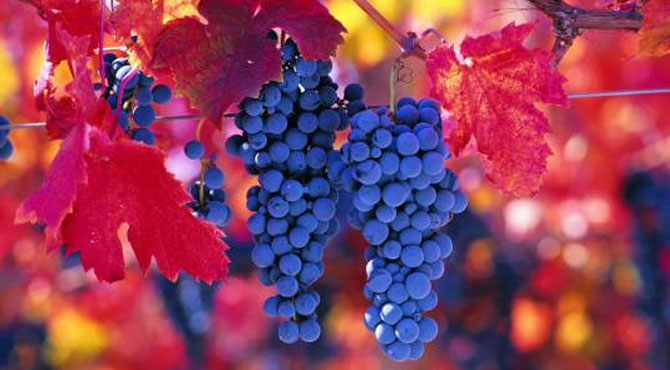 Grande-Vidure-grapes