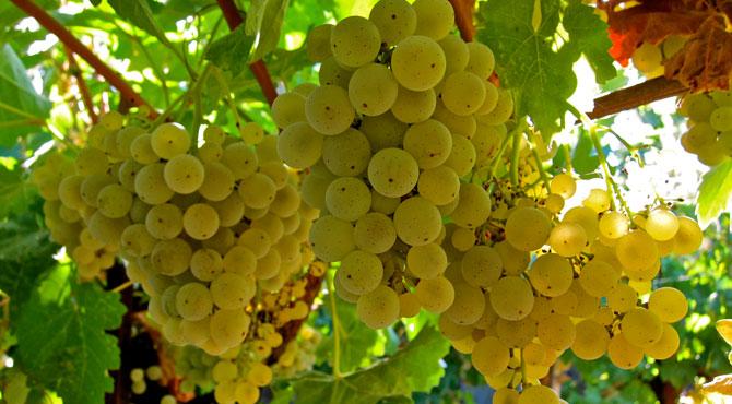 Kerner-grapes