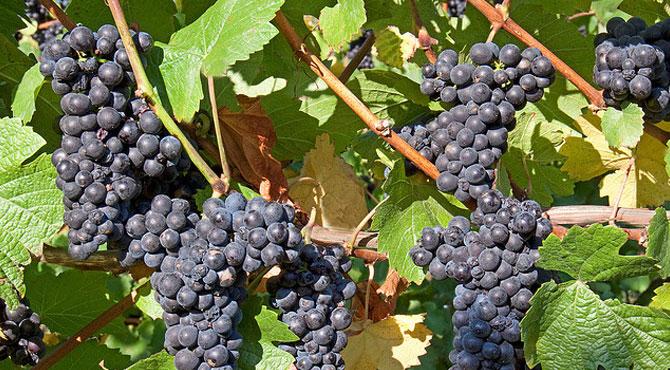 Marechal-Foch-grapes