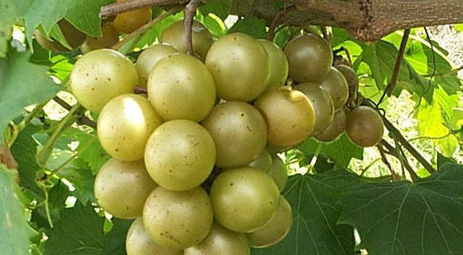 Muscadine-grapes