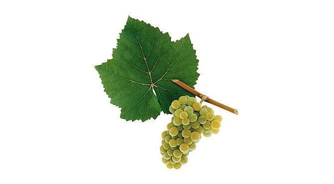 Pinot-Blanc-grapes