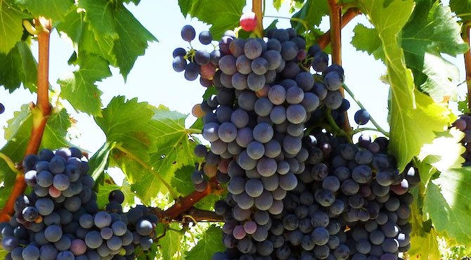 Pinotage-Grapes