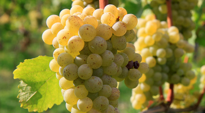 Sauvignon-Blanc-grapes