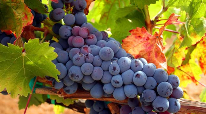 Tempranillo-grapes