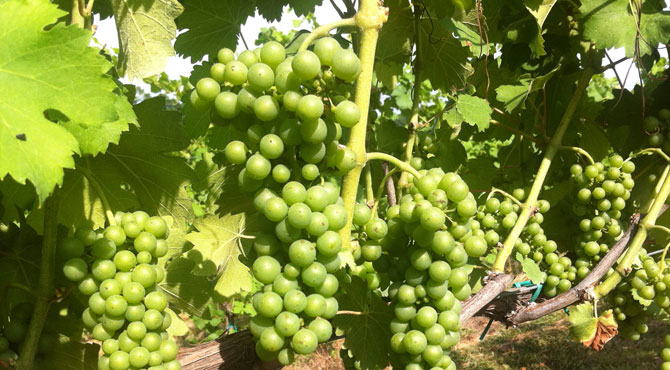 Viognier-grapes