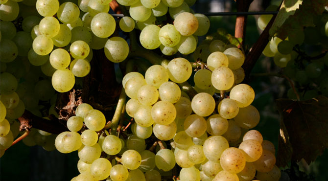 Auxerrois-grapes