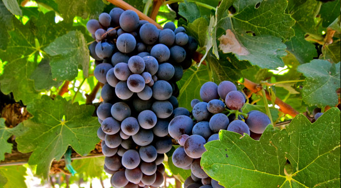 Barbera-Grapes