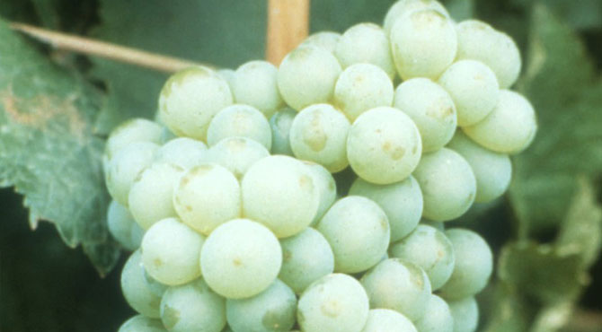 Chenin-Blanc-grape