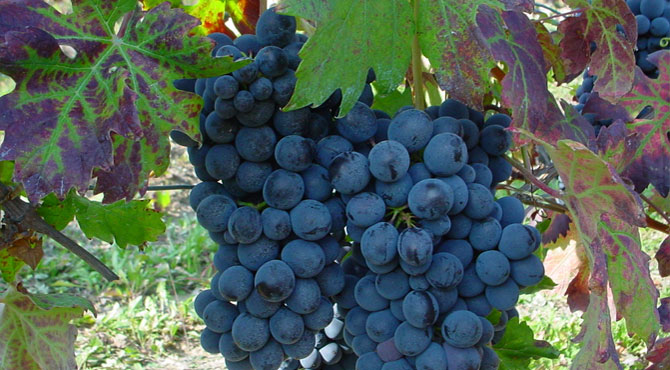Cortese-grapes