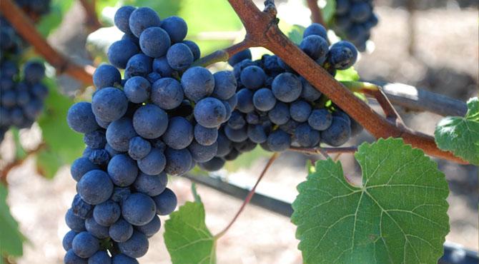 Gamay-Grapes