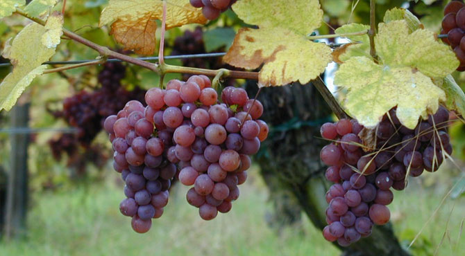 Gewurztraminer-grapes