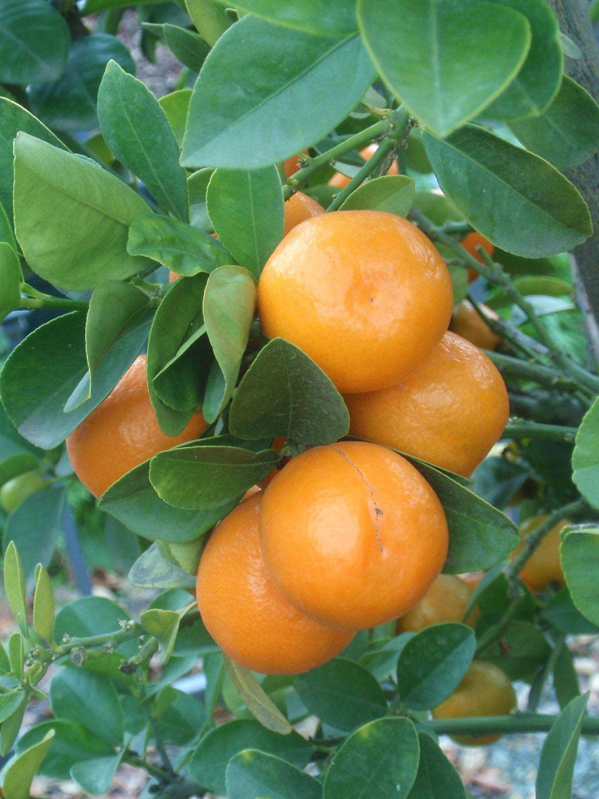 9 top health benefits of kumquats hb times for Plante kumquat