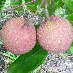 'Kwai Mai Pink' lychee