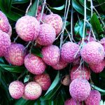 The Emperor lychee