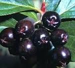 Aronia black