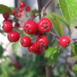 Aronia red