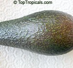 Russel Avocado