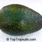Winter Mexican Avocado